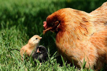 Araucana hen and chick bonding shortly after hatch Reklamní fotografie