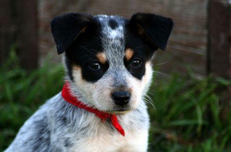 red heeler: 6 week old Blue Heeler puppy dog