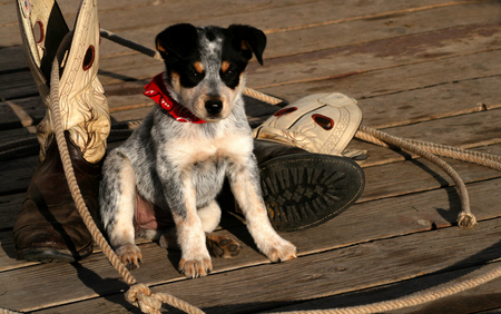 Blue Heeler Pup sitting with lariat and boots Stock Photo