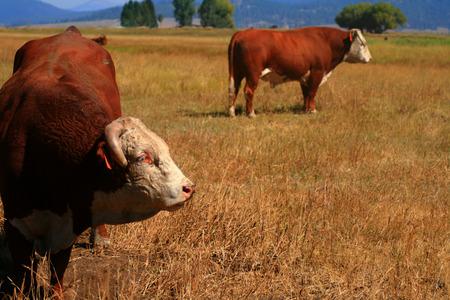 bullish: Bulls on pasture in late summer in Idaho