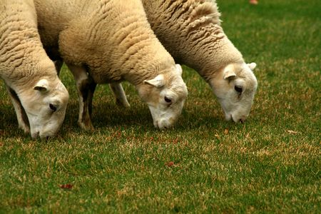 Three sheep grazing on the green grass
