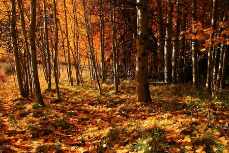 In the middle of an aspen grove in autumn Stock Photo