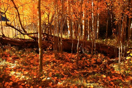 aspen grove: In the middle of an aspen grove in autumn Stock Photo