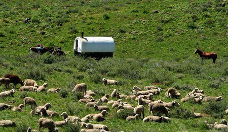 Sheepherder wagon and sheep in high desert of Idaho