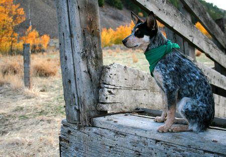 Blue Heeler Pup sitting in cattle load chute Stock Photo