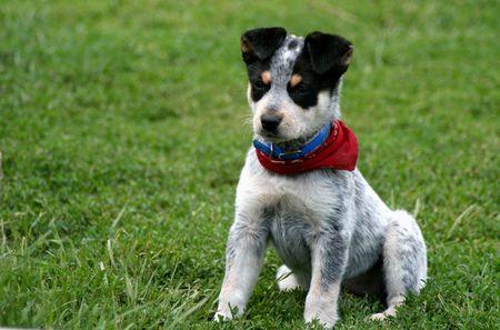 heeler: 8 week old Blue Heeler puppy dog