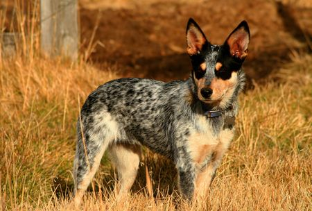 5 month old female Blue Heeler Pup Stock Photo