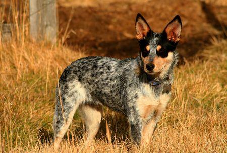 australian animal: viejo perrito azul femenino de Heeler de 5 meses Foto de archivo
