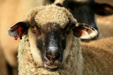 suffolk: Black Face Suffolk Sheep