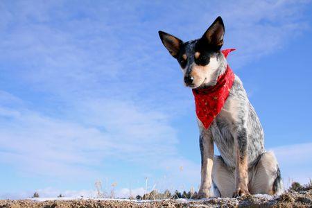 red bandana: Blue Heeler puppy sporting a red bandana