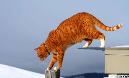 prowler: Yellow Tabby Cat Prowling In The Winter Stock Photo