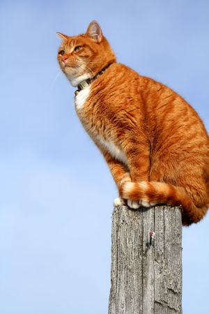 fencepost: Yellow tabby cat looking with caution from a tall fencepost