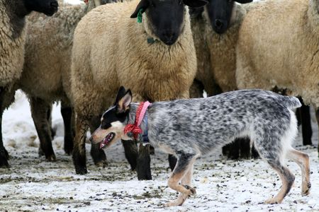 Blue Heeler puppy learning how to control and move sheep Stock fotó