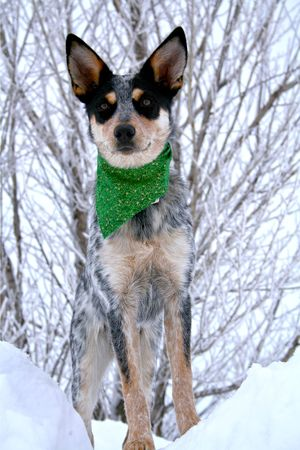heeler: Blue Heeler puppy sporting green bandanna while on top of large snow drift