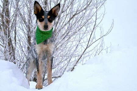Blue Heeler puppy sporting green bandanna while on top of large snow drift