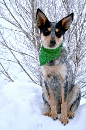 Blue Heeler puppy sporting green bandanna while on top of large snow drift photo