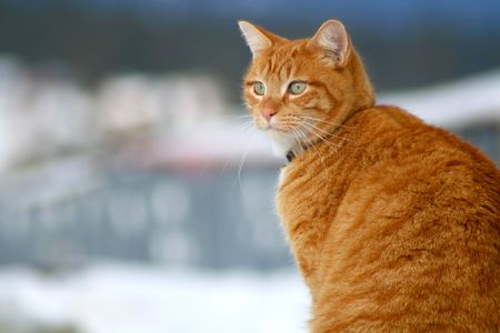 Yellow tabby cat looking for prey in winter photo