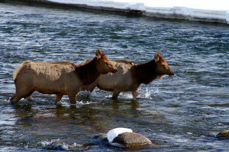 Cow elk crossing Salmon River in winter, february in Idaho photo