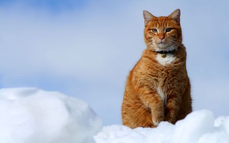 Yellow tabby cat sitting in high snow bank resembles clouds photo