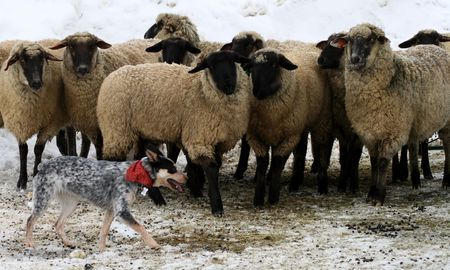 red heeler: Blue Heeler puppy learning how to control and move sheep Stock Photo