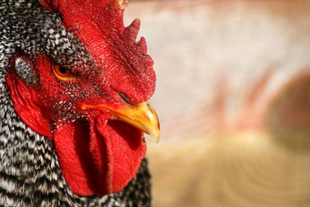 Barred Rock Rooster Closeup photo