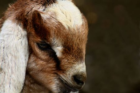 ruminants: Kid goat closeups Stock Photo