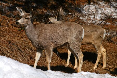 twice: Young mule deer browsing in early spring