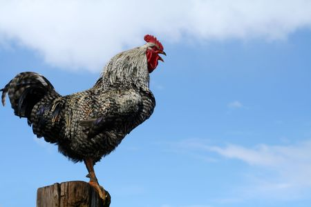 Arucauna rooster crowing perched on fencepost photo