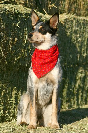 heeler: Blue Heeler puppy sporting a red bandana on hay bales Stock Photo
