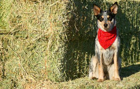 red heeler: Blue Heeler puppy sporting a red bandana on hay bales Stock Photo