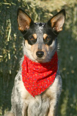 Blue Heeler puppy sporting a red bandana on hay bales Stock Photo - 3117096