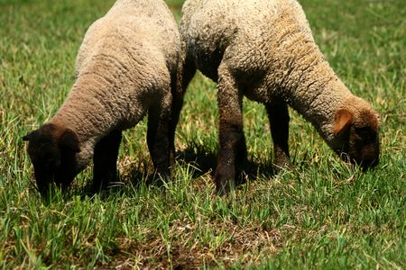 ruminants: Suffolk lambs grazing on spring pasture Stock Photo