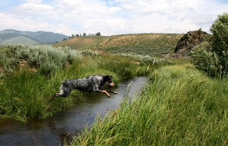 Blue heeler puppy jumping Stanley Creek, Stanley Idaho