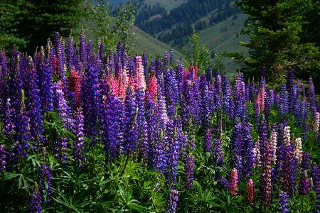 Wild foxglove growing in high mountain meadow in Idaho Reklamní fotografie