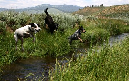 retreiver: Blue Heeler, Jack Russel Terrier and Labradour Retreiver jumping creek