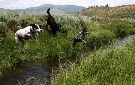 Blue Heeler, Jack Russel Terrier and Labradour Retreiver jumping creek