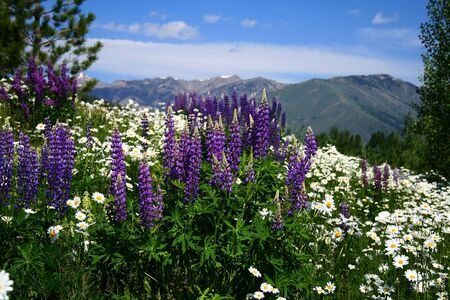 phallic: Wild foxglove and daisies growing in high mountain meadow in Idaho Stock Photo