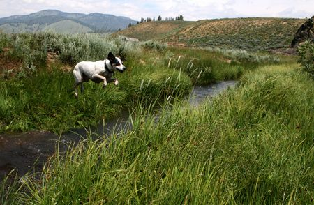 Jack Russel Terrier creek jumping Reklamní fotografie