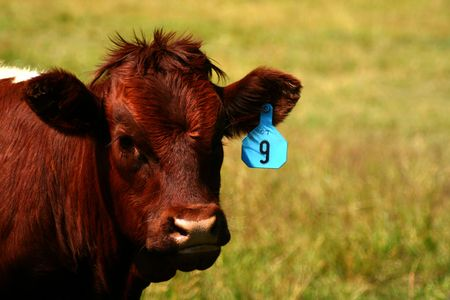 fencepost: Cattle on summer pasture, Idaho