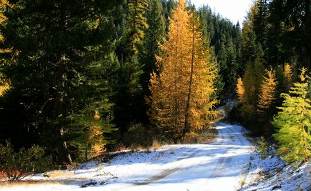 Slight dusting of snow and tamaracks loosing their needles on Idaho fall morning