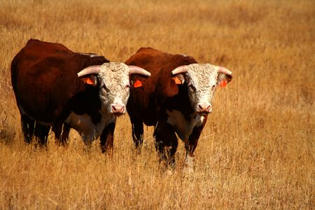 Bulls on pasture in late summer in Idaho