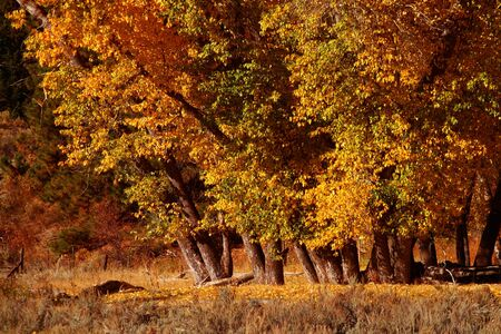 fenceline: Cottonwoods in full fall color, Idaho