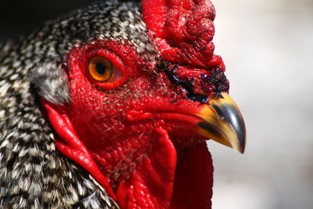Closeup of Barred Rock Rooster Stock Photo - 5058587