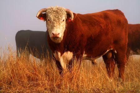 Bull standing in pasture on foggy autumn morning, Idaho