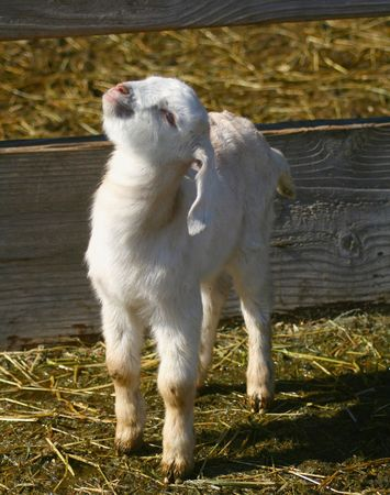 caprine: goat,kid,baby,infant,young,youth,child,stretch,siblings,sister,brother,related,relative,relation,family,twins,double,two,caprine,adorable,newborn,cute,fragile,innocent,vulnerable,agriculture,livestock,farm,ranch,ears,rural,gentle