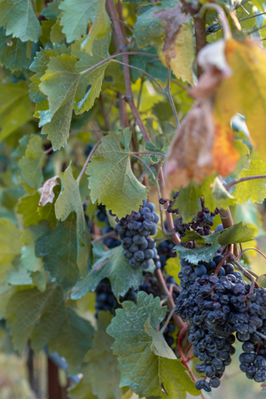 Amarone vineyard at sunset