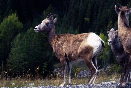 trecking: Young bighorn sheep trecking the Canadian Rockies. Stock Photo