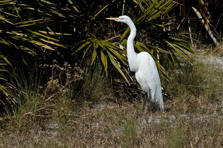 sunning: Great white Egret (Casmerodius Albus) sunning near the palmetto shrubs. Stock Photo