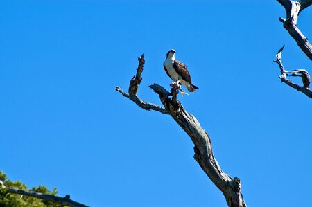 osprey: Osprey perched with fish in his talents.