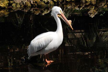 American White Pelican (Pelecanus Erythorhynchos) breeding stage preening in the stream. Stok Fotoğraf